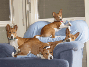 Victorian Basenji Breed Association Inc