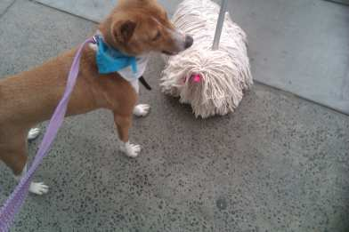 Ringo meets a new breed!